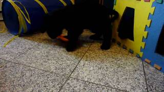 English Cocker Spaniel Puppies / Welpen 10,5 Wochen
