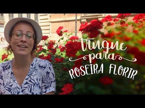 Roseira Mais Florida Com Estes 3 Truques