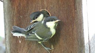 野鳥:シジュウカラの繁殖 -営巣から雛の巣立ちまで-/Wild Birds: Breeding of Japanese Tit