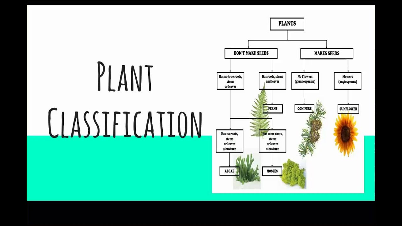 classification of plants information The first big division of living things in the classification system is to put them into one of five kingdoms (all green plants) fungi (moulds, mushrooms, yeast.