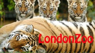 My day at London Zoo with 3 tiger cubs