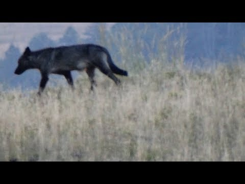 Yellowstone Trip 2015 Part 2. Wolves and Bison in Lamar Valley