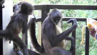 Маленький обезьяныш кушает банан!