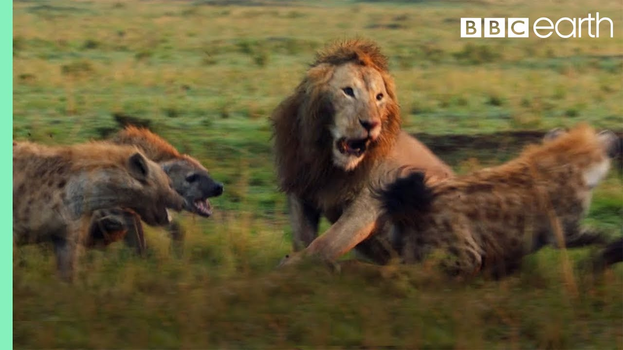 Lion Attacked by Pack of Hyenas - FULL CLIP (with ending) | Dynasties | BBC Earth