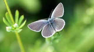 Small Blue butterfly, Totternhoe Knolls, Bedfordshire