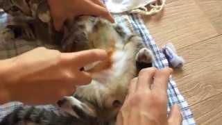 Обработка шва после стерилизации кошки / Processing weld after castration