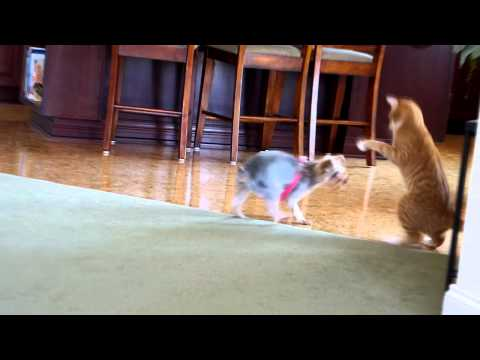 Opie the cat, and Teeka the Yorkie, Have a cat vs dog play time Part 2