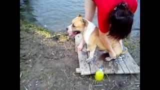 stafford Бакс Как надо мыть собаку 1.5мес.