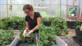Screening Method for  Fusarium Wilt in Watermelon