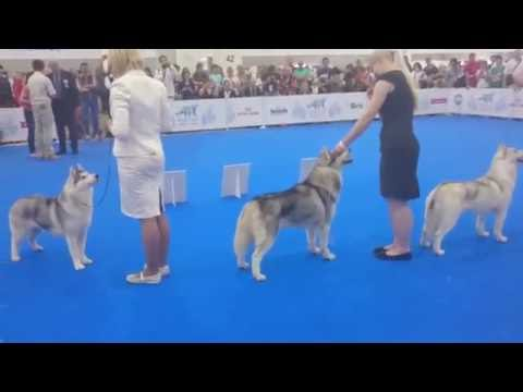 Siberian Husky, World Dog Show - 2016, BOB & BOS, William Wallace Of Nordica - VWW!