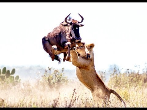 Download Lion Attack Compilation #HD