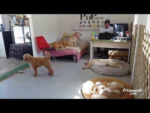 [DOG TV LIVE] 포메라이언 제리, 스탠다들 푸들 슈슈 #설악펍하우스 170410 #dog