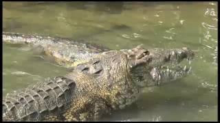 Lagarto devora un perro en las aguas de la laguna del Carpintero.