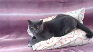 Британский кот.Нашему красавцу 1 год.