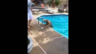 Golden Retriever (goose) Uses Pool Ladder