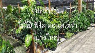 แนะนำร้านขาย ไม้ใบ ฟิโลเดนดรอน มอนสเตอร่า ต้นไม้ฟอกกากาศ บางใหญ่
