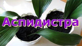 видео Императа: правила выращивания, ухода, размножения