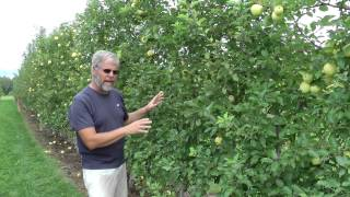 090512vlog - Lindamac vertical axis yield AND Fruiting Wall vs. Tall Spindle Apple yield