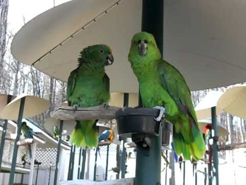 Amazon Parrots Arguing like an old married couple.  Parrot Mountain in Gatlinburg, Tn