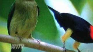 Uirapuru Vermelho o Michael Jackson da Floresta *Coongo