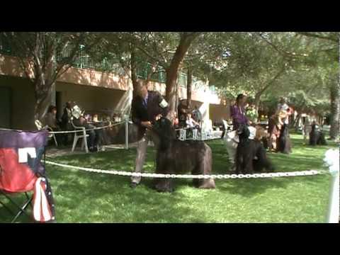 Ch. Agha Djari's True Lies at the Mesa, Arizona Afghan Hound Specialties