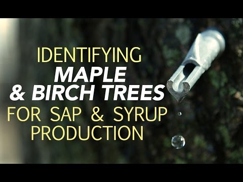 Identifying Maple & Birch Trees For Sap & Syrup Production