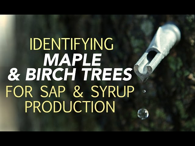201eb3988a6 The Health Benefits Of Drinking Maple Tree Sap