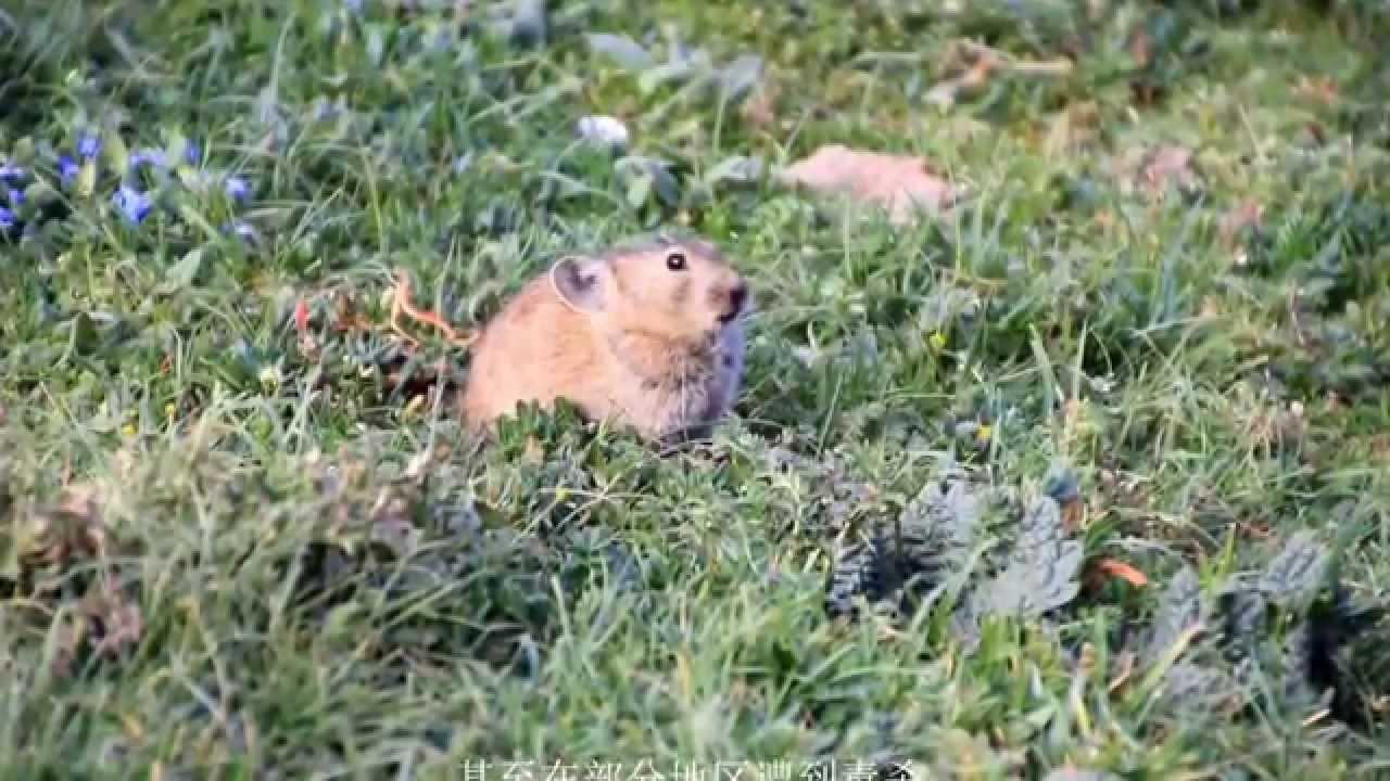 可愛的鼠兔 - YouTube