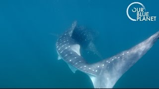 Tagging the Largest Shark on Earth - Our Blue Planet - Earth Unplugged