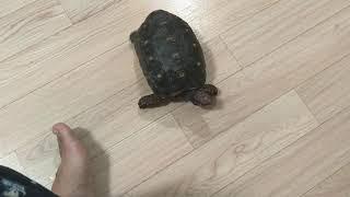 레드풋 거북이 거실에 풀어놓기
