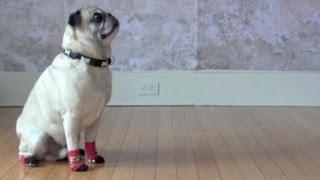 Ollie The Pug So Cute In Socks