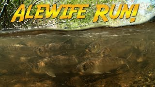 Maine Alewife Run | JONATHAN BIRD