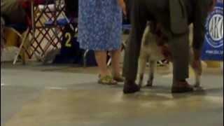 Greenville Kennel Club Nor Elk Open Bitch Class 07/29/2012
