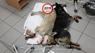 Видео 18+  Как в Киеве спасают собак после зверских отравлений смертельными ядами.  При поступлении