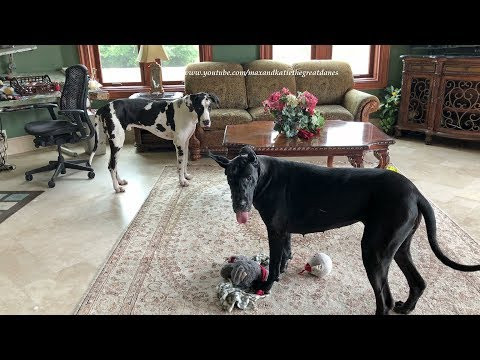Funny Great Danes Love To Play Tag Around The Table