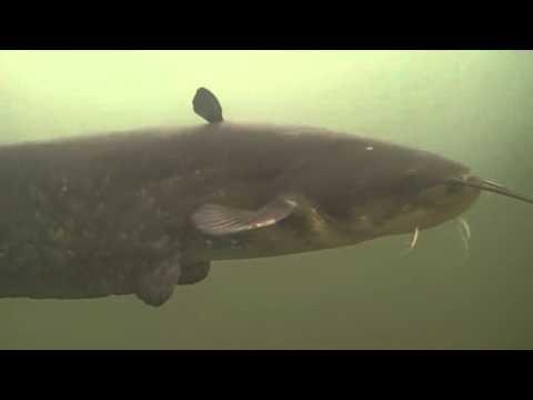 Catfish in the river Krka Novo mesto-Slovenia