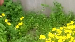 Желтые цветы - видео(цветок, цветок пахнет, цветы цветут, яркие цветы, ромашки, пионы, ирис, петушки, цветы весной, цветы летом,..., 2016-06-20T12:07:38.000Z)