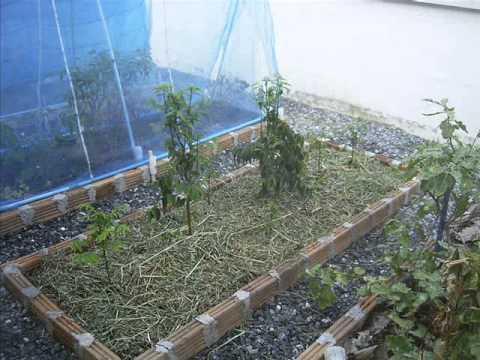 Home grown sweet leaf bush (Katuk) by cutting