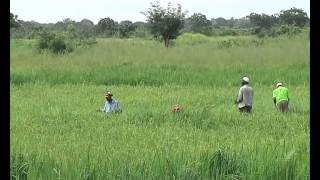 System Rice intensification Project launched in the Northern Region 15