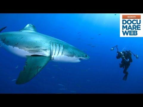 Documentario Jacques Cousteau - Il grande squalo bianco - La grande avventura del mare