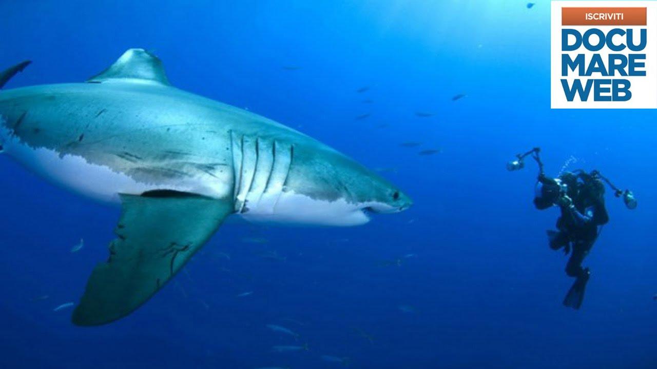 Documentario jacques cousteau il grande squalo bianco for Disegno squalo bianco