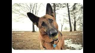 German Shepherd Dog - Fun Facts From Weight Waggers