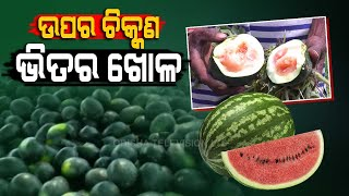 Special Story Worst Fears Of Watermelon Farmers In Kendrapara Come True As Pests Devour TheirProduce