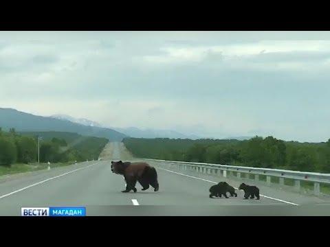 Медвежьи войны в Магадане