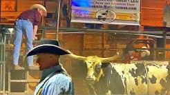 BULL & SHEEP RIDING AT BUFFALO CHIP SALOON, CAVE CREEK, ARIZONA