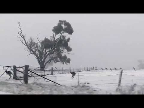 Watch kangaroos frolic in the snow in Australia