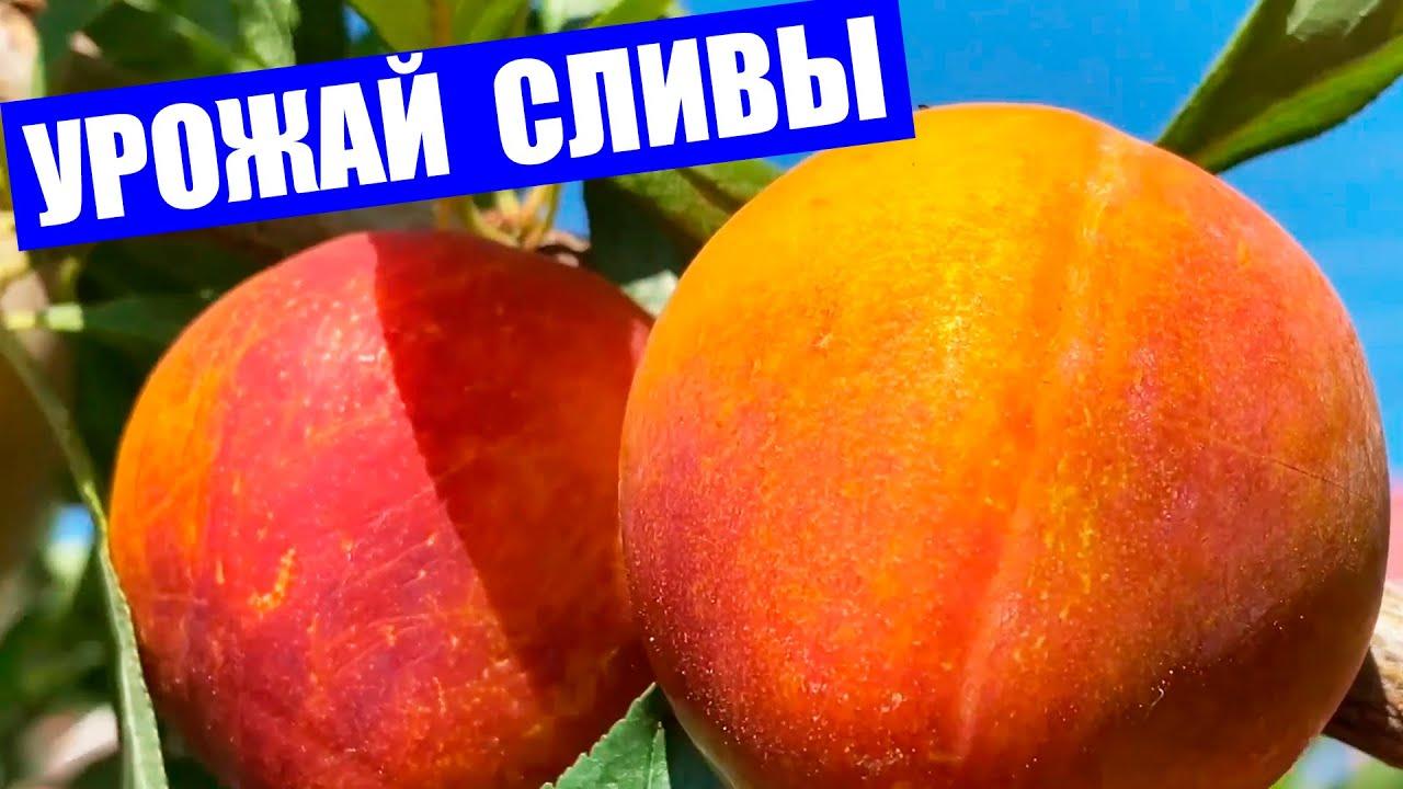 Колоновидная слива. Богатый урожай плодов колоновидной сливы.