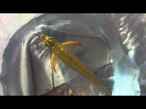 24k  crossback gold  9999(Bukit Merah)  của hội trưởng hungthinh .