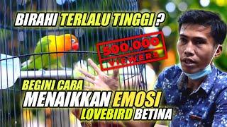Download lagu CARA MENAIKKAN EMOSI LOVEBIRD