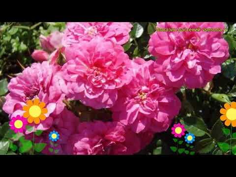 Роза почвопокровная Книрпс. Краткий обзор, описание характеристик, где купить саженцы Knirps